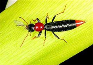 隐翅虫和蚊虫的区别?隐翅虫和蚊虫有什么不一样?