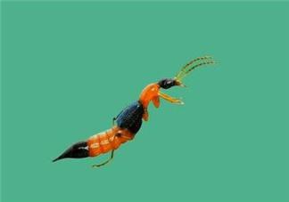 被隐翅虫咬了后怎么办?隐翅虫如何预防和治疗咬伤?