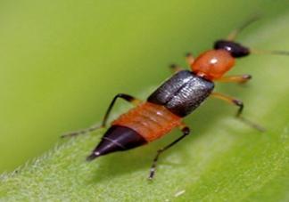 隐翅虫有毒吗?隐翅虫会毁容吗?