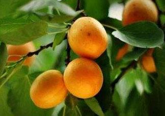 杏子可以空腹吃吗?空腹能吃杏子吗?
