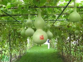 几月种葫芦怎么种成活率高图片