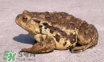 蟾蜍是不是癞蛤蟆 蟾蜍和青蛙的区别