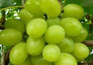 青提和葡萄有什么区别?青提是葡萄吗?