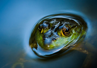 牛蛙是田鸡吗?牛蛙是蟾蜍吗