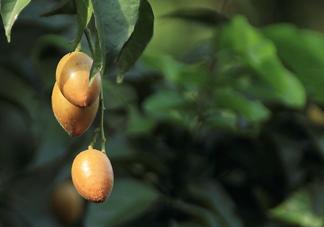 黄皮果可以减肥吗?黄皮果能减肥吗