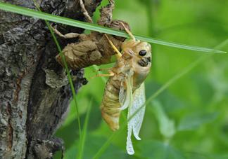 金蝉什么时候出来?金蝉什么时候出土?