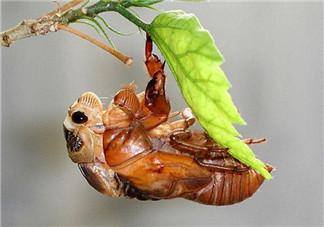 金蝉有寄生虫吗?金蝉有毒吗?