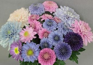 菊花有蓝色吗_蓝色菊花名字叫什么_蓝色的菊花是什么品种