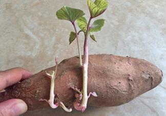地瓜发芽了怎么种盆栽?拔丝地瓜怎么熬糖