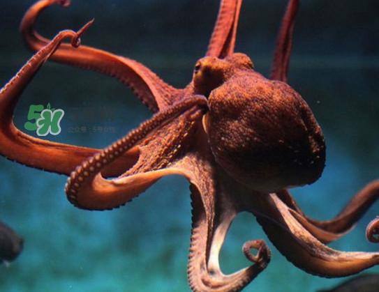 章鱼可以生吃吗?生吃章鱼的危害