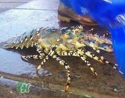七彩神虾好吃吗?七彩神虾的营养价值