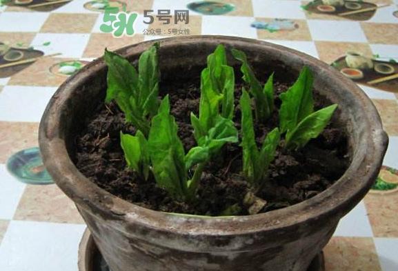 八月份可以种菠菜吗?波菜8月中旬种可以吗?