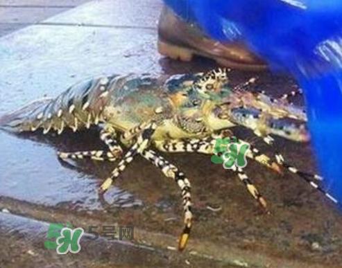 七彩神虾是什么虾?七彩神虾怎么回事?