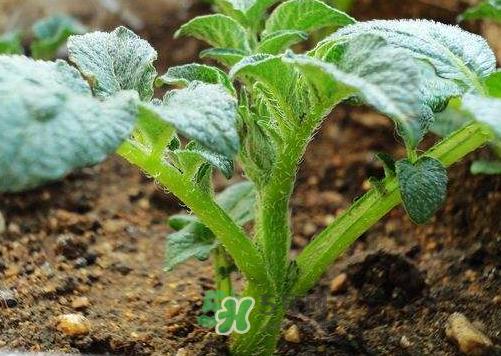 九月份可以种土豆吗?秋天能种土豆吗?