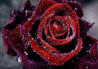 教师节可以送玫瑰吗?教师节送玫瑰还是康乃馨?