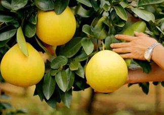 如何区分红肉蜜柚真假?吃红肉蜜柚有什么好处?
