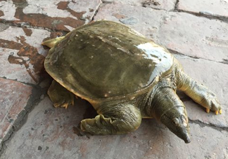 脚鱼是什么?脚鱼和乌龟的区别