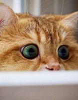 橘猫为什么胖?橘猫是什么品种?