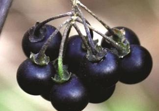 龙葵果可以吃吗?龙葵果能不能当水果吃