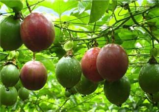 什么时候种植百香果最适宜?百香果软的好还是硬的好?