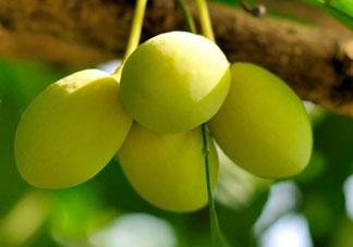 2017银杏果多少钱一斤 白果多少钱一斤2017