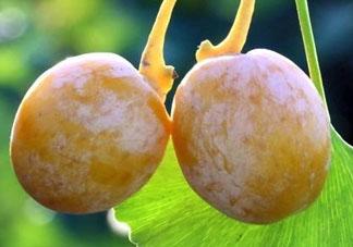 银杏果为什么臭 银杏果臭味怎么去除