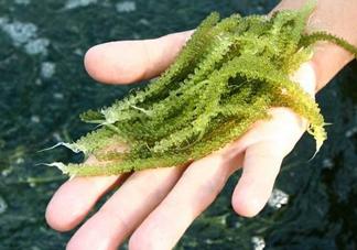 海葡萄怎么保存?海葡萄都有那些吃法