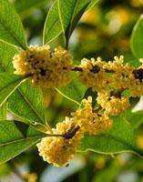 桂花树可以插活吗 桂花树可以插枝栽培吗