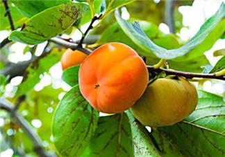 柿子叶祛斑是真的吗 柿子叶怎么祛斑