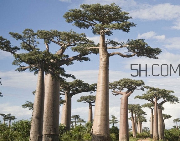 猴面包树生长在哪里?猴面包树名字的由来