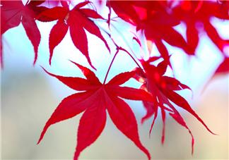 枫叶几月份最红?枫叶几月的时候最美?