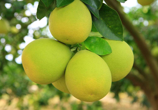沙田柚是文旦吗?文旦柚和沙田柚的区别