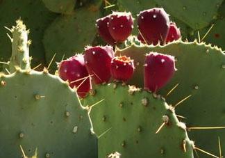 仙人掌果是寒性的吗 仙人掌属于温性还是寒性