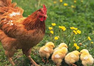 安静如鸡是什么意思?安静如鸡是什么梗?