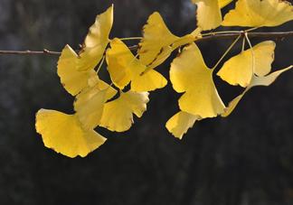 银杏叶的花语是什么?银杏树叶可以降血压吗