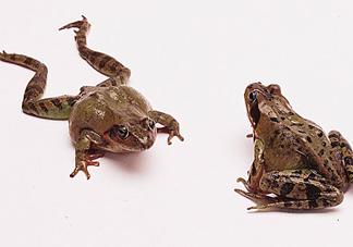林蛙是雪蛤吗?林蛙是田鸡吗