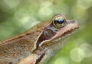 林蛙怎么处理内脏?林蛙怎么做好吃