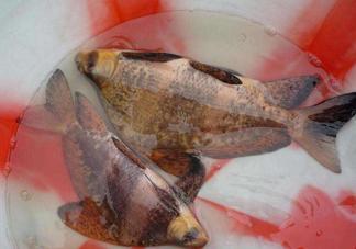 胭脂鱼是冷水鱼吗?胭脂鱼是热带鱼吗