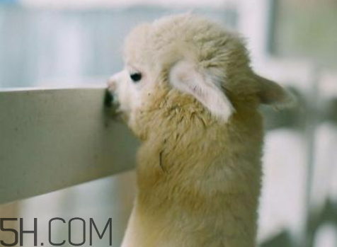 qq羊驼表情什么意思 发羊驼是什么意思