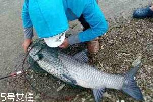 青鱼怎么钓 钓青鱼注意几点