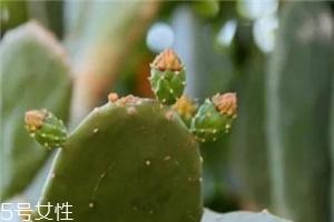 食用仙人掌的作用与功效 食用仙人掌居然可以治病
