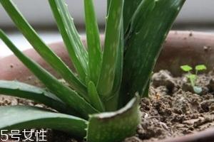 芦荟胶真的很神奇吗?只是基础的补水保湿