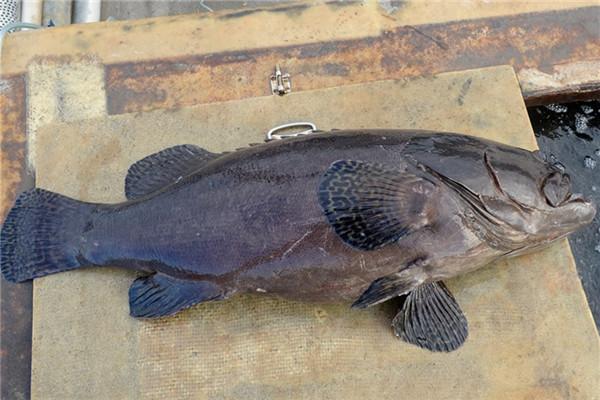龙胆石斑鱼怎么吃最好吃
