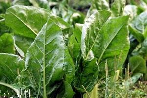 牛皮菜的功效与作用 牛皮菜的营养价值