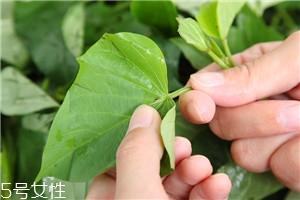 地瓜叶的功效与作用 地瓜叶的八大功效