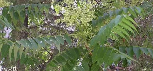 香椿和臭椿有什么区别?臭椿有毒不能吃