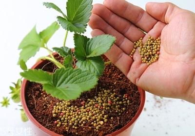 盆栽草莓的种植方法 草莓盆栽怎么养