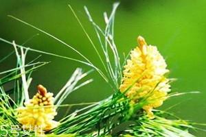 吃松花粉上火吗 吃多了会上火