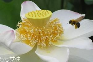 荷花粉多少钱一斤 选购技巧