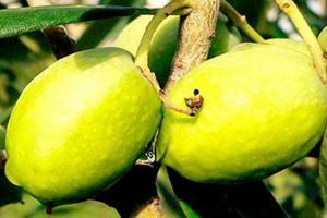橄榄能减肥吗 橄榄的热量是多少